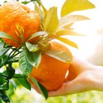 gardener hand touching orange on a tree